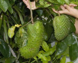 - в его составе содержится много витаминов и микроэлементов, углеводов и белков;