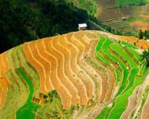 какую опасность могут нести рисовые поля