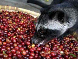 Почти все плантации с кофе на острове Бали находятся на дороге